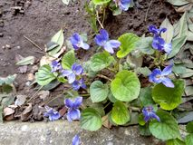 Violets close up on natural background. Royalty Free Stock Photo
