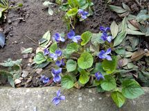 Violets close up on natural background. Spring, sweet wild violets close up next to the pavement on natural background Royalty Free Stock Photography