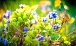 Violets closeup Royalty Free Stock Photos