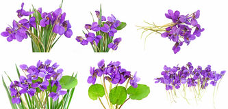 Violets collection Royalty Free Stock Images