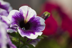 Violets detail Royalty Free Stock Photo