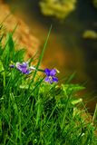 Violets at the edge of a pond.  stock photos