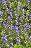 Violets - floral background. Royalty Free Stock Images