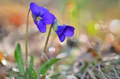 Violets flowers blooming on field Royalty Free Stock Photography