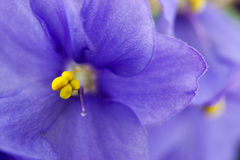 Violets flowers close up Royalty Free Stock Photography