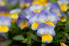 Violets flowers Royalty Free Stock Photo