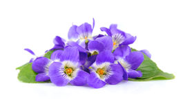 Violets flowers Royalty Free Stock Images