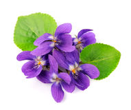 Violets flowers Stock Image