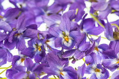 Violets flowers Stock Images