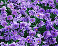 Violets flowers field Stock Image