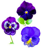 Violets flowers pansies Stock Photo
