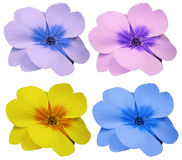 Violets flowers set yellow blue pink violet.  white isolated background with clipping path.   Closeup.  no shadows.  For design. Stock Image
