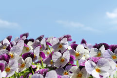 Violets flowers Stock Photography