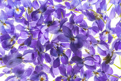 Violets flowers royalty free stock photos