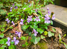 Violets in the garden Royalty Free Stock Image