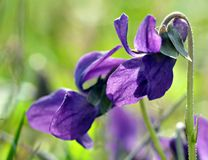 Violets in grass Stock Photography