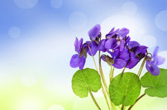 Violets in a grass and bokeh Royalty Free Stock Images