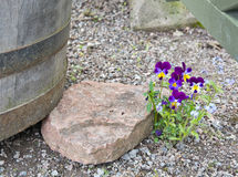 Violets in gravel Stock Photos