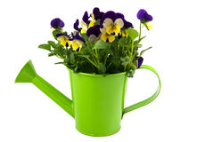 Violets in green watering can. Isolated on white royalty free stock photos