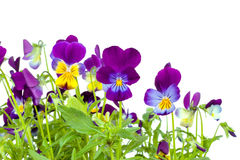 Violets. Royalty Free Stock Photography