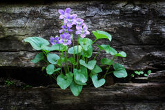 Violets growing in Wooden Wall stock photo