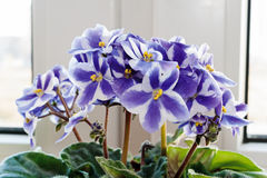 Violets. Royalty Free Stock Image