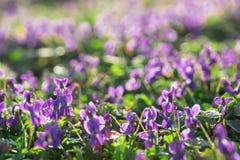 Violets i Sunny Early Spring Garden arkivfoto