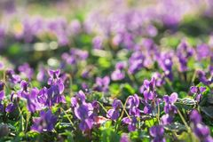 Free Violets In The Sunny Early Spring Garden Stock Photo - 144025730