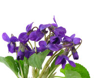 Violets isolated on white background Royalty Free Stock Photo