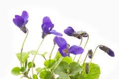Violets, macro shot. Violets macro shot on light background Royalty Free Stock Images