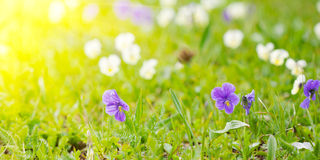 Violets on a meadow Stock Photos