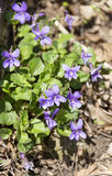 Violets in the mountain Royalty Free Stock Images
