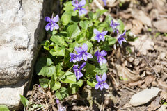 Violets in the mountain Stock Photography