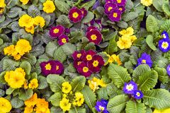 Violets or pansies tricolor collection. Flower design royalty free stock image