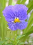 Violets pansy. Flowers flora botany royalty free stock photo