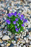 Violets in Pebbles. A cluster of violets bursting forth from pebbled ground Stock Photos