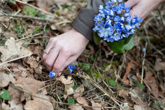 Violets picking in the forest Stock Photos
