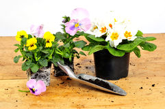 Violets plant tools Stock Images
