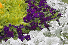 Violets and Plants. Violets arranged between rows of plants Stock Photos