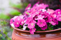 Violets in a pot. Fresh pink violets in a pot stock image