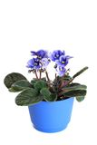Violets in a pot. Violets in pot. Focus on the leaves Stock Image