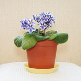 Violets in a pot. Royalty Free Stock Photo