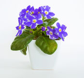 Violets in a pot of violets, isolated on white background. Violets in a pot, insulated violets on a white background. beautiful flowers in pots Royalty Free Stock Image