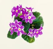 Violets in a pot of violets, isolated on white background Royalty Free Stock Images