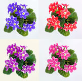 Violets in a pot of violets, isolated on white background Royalty Free Stock Image