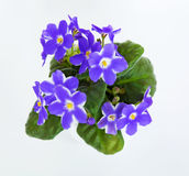Violets in a pot of violets, isolated on white background Stock Photography