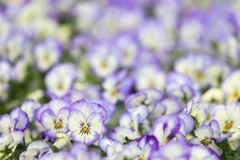 Violets with selective focus at one special flower Stock Photos