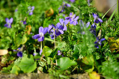 Violets. Small Violets wild spring flowers Royalty Free Stock Photo