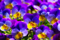 Violets In Spring. Close-up of violets pansy, viola on sunny spring day Stock Image