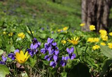 Violets and spring yellow flowers growing in park lawn. stock image